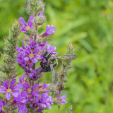 Bumblebee πορφυρό Loosestrife Στοκ Εικόνα