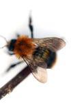 bumblebee που απομονώνεται Στοκ Εικόνες