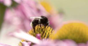Bumblebee που απορροφά τον οφθαλμό του cornflower φιλμ μικρού μήκους