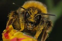 Bumblebee που καλύπτεται στη γύρη Στοκ Εικόνα