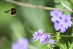 Bumblebee που πετά από το λουλούδι στοκ φωτογραφίες