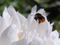 Bumblebee που πετά επάνω από άσπρο peony Στοκ εικόνα με δικαίωμα ελεύθερης χρήσης