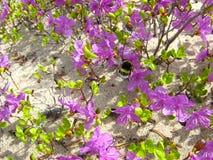 Bumblebee που πετά μεταξύ του ledum Στοκ Εικόνες