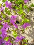 Bumblebee που πετά μεταξύ του ledum Στοκ εικόνες με δικαίωμα ελεύθερης χρήσης