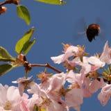 bumblebee που πετά στο λουλούδι Στοκ Εικόνες