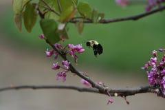 * Bumblebee που προσγειώνεται στις ανθίσεις Redbud Στοκ Φωτογραφίες