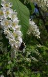 Bumblebee που συλλέγει το μέλι στο κεράσι πουλιών στοκ φωτογραφίες