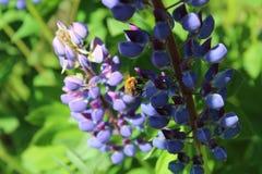 Bumblebee που συλλέγει το νέκταρ από τα λουλούδια lupine στοκ εικόνες