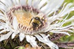 Bumblebee που συλλέγει τη γύρη από ένα λουλούδι Στοκ Εικόνα