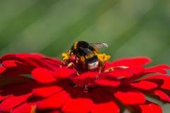 Bumblebee που συλλέγει το μέλι Στοκ Εικόνες