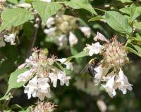 Bumblebee που συλλέγει το νέκταρ από το αγιόκλημα Στοκ Εικόνες