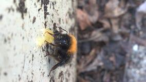 Bumblebee που τρώει το μέλι Στοκ φωτογραφία με δικαίωμα ελεύθερης χρήσης