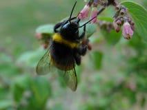 Bumblebee που ψάχνει για τα τρόφιμα Στοκ Φωτογραφίες