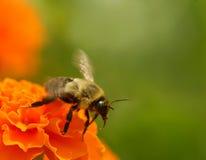 bumblebee πτήση Στοκ φωτογραφία με δικαίωμα ελεύθερης χρήσης