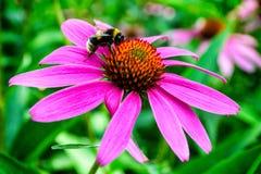Bumblebee, ρόδινο λουλούδι και πράσινη χλόη Στοκ Εικόνες