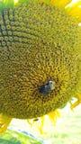 Bumblebee σε έναν ηλίανθο Στοκ Εικόνες