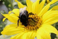 Bumblebee σε έναν ηλίανθο Στοκ φωτογραφία με δικαίωμα ελεύθερης χρήσης