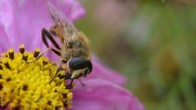 Bumblebee σε έναν κήπο Στοκ εικόνα με δικαίωμα ελεύθερης χρήσης