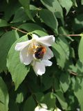 Bumblebee σε ένα άσπρο λουλούδι Στοκ φωτογραφία με δικαίωμα ελεύθερης χρήσης