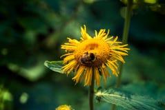 Bumblebee σε ένα κίτρινο λουλούδι Στοκ Εικόνες