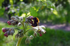 Bumblebee σε ένα κόκκινο λουλούδι Στα πλαίσια της πρασινάδας Στοκ φωτογραφίες με δικαίωμα ελεύθερης χρήσης