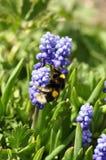 Bumblebee σε ένα λουλούδι Στοκ εικόνες με δικαίωμα ελεύθερης χρήσης