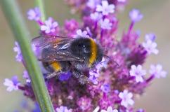 Bumblebee σε ένα λουλούδι Στοκ Εικόνες