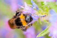 Bumblebee σε ένα λουλούδι Στοκ φωτογραφία με δικαίωμα ελεύθερης χρήσης
