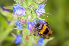 Bumblebee σε ένα λουλούδι Στοκ εικόνα με δικαίωμα ελεύθερης χρήσης
