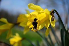 Bumblebee σε ένα daffodil Στοκ Φωτογραφίες