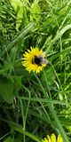 Bumblebee σε μια πικραλίδα στον ήλιο στοκ φωτογραφίες