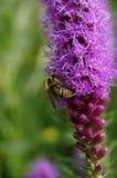 Bumblebee σε Gayfeather στοκ εικόνες
