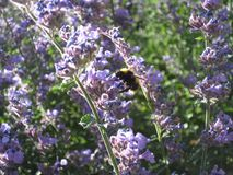 Bumblebee στα πορφυρά λουλούδια και την ταλάντευση φωτός του ήλιου Στοκ Εικόνες