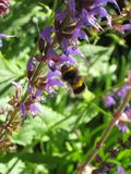 Bumblebee στα πορφυρά λουλούδια και το πέταγμα φωτός του ήλιου Στοκ φωτογραφία με δικαίωμα ελεύθερης χρήσης