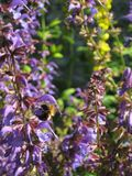 Bumblebee στα πορφυρά λουλούδια και το φως του ήλιου ρουφά γουλιά γουλιά nectarr Στοκ Φωτογραφία