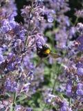 Bumblebee στα πορφυρά λουλούδια και το φως του ήλιου 14 Στοκ φωτογραφίες με δικαίωμα ελεύθερης χρήσης