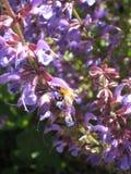 Bumblebee στα πορφυρά λουλούδια και φως του ήλιου με πράσινο Στοκ Φωτογραφίες