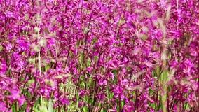 Bumblebee στα ροδανιλίνης λουλούδια απόθεμα βίντεο