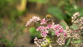 Bumblebee στα ρόδινα λουλούδια την ηλιόλουστη ημέρα Ρόδινοι θάμνοι των λουλουδιών στον κήπο ή το πάρκο φιλμ μικρού μήκους