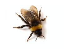 bumblebee στενός επάνω Στοκ Φωτογραφία