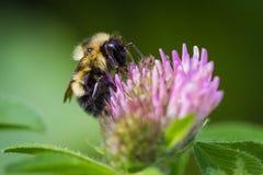bumblebee στενός επάνω Στοκ εικόνα με δικαίωμα ελεύθερης χρήσης
