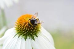 bumblebee στενός επάνω Στοκ Εικόνες