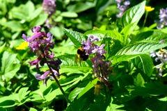 Bumblebee στην άνθιση στοκ φωτογραφίες