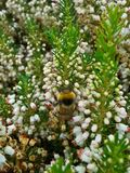 Bumblebee στην άσπρη Heather 2 Στοκ εικόνες με δικαίωμα ελεύθερης χρήσης
