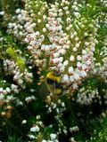 Bumblebee στην άσπρη Heather 3 Στοκ εικόνες με δικαίωμα ελεύθερης χρήσης