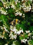 Bumblebee στην άσπρη Heather 4 Στοκ Φωτογραφία