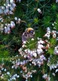Bumblebee στην άσπρη Heather 5 Στοκ Εικόνες