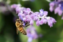 Bumblebee στην αιμορραγία της καρδιάς Στοκ εικόνες με δικαίωμα ελεύθερης χρήσης