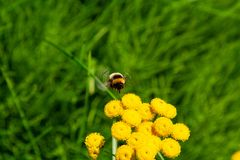 Bumblebee στην εργασία, tundra το καλοκαίρι στοκ εικόνα με δικαίωμα ελεύθερης χρήσης