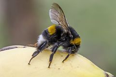 Bumblebee στην μπανάνα Στοκ φωτογραφία με δικαίωμα ελεύθερης χρήσης